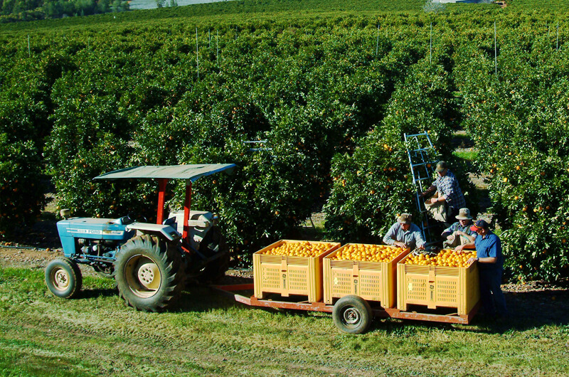 Griffith Tours New South Wales - photo of four men harvesting oranges with blue tractor pulling three large yellow buckets.